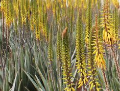 Every year, #Forever produce over 2 billion tablets, 20 million bottles and 2 million cases of #AloeVera!