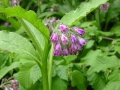 What Is Comfrey - Comfrey (Symphytum officinale) is a herb that has been used for centuries for it's wound healing abilities.    It's also known as Bruisewort, boneset and knitbone. Historically, comfrey was used to treat bone fractures, back pain, varicose veins, bruises, sprains and strains and skin ulcers.
