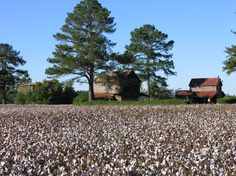 Cotton Farm | Goldsboro, NC : Old cotton farms photo, picture, image (North Carolina ...