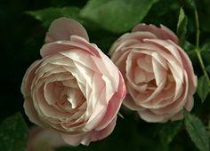 Rosa Madame Pierre Oger