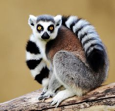Lemur by Paolo Pompei on 500px