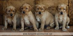 Fox Red Labrador Retriever Puppies | Puppies For Sale | Balsam Branch Kennel | Wisconsin | Minnesota | Cute |