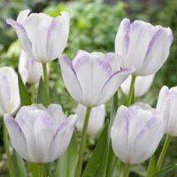 Tulpen Gwen ®