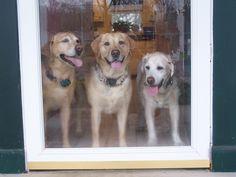A Trio of Labradors