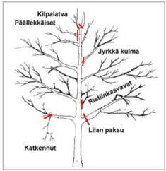 Nämä oksat poistetaan omenapuun kevät- ja hoitoleikkauksissa