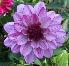 Lauren Michele - Two tone lavendar flower with dark purple reverse, the long slender stems are darker than other dahlia varieties.