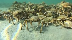 Giant crab horde gathers in Australia