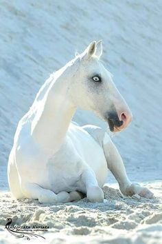 Stark White horse with striking white blue eyes. Beautiful horse lying in the white desert sand, tall sandune behind him - Equine Photography. Please also visit www.JustForYouPropheticArt.com for colorful inspirational art. Thank you so much! Blessings!