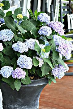 PLANTING HYDRANGEAS IN POT AND URNS – Use The Original Endless Summer Collection hydrangea, blooms from spring to fall, use Miracle Grow Moisture Control Potting Soil, use time released fertilizer in bottom of hole, plant with base of the plant level with Hydrangea Potted, Hortensia Hydrangea, Hydrangea Care, Hydrangeas, Potted Flowers, Flowers For Planters, Container Plants, Container Gardening, Gardening Tips