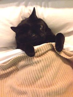Black cat in bed. Pretty Cats, Beautiful Cats, Animals Beautiful, Cute Animals, Crazy Cat Lady, Crazy Cats, Matou, Mundo Animal, White Cats