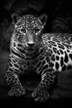 Panthera Pardus Kotya (sri_lankan leopard) by Syahrul Ramadan, via 500px