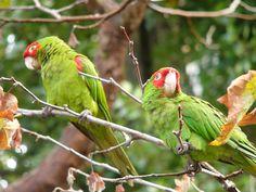 Red-masked Parakeet (Aratinga_erythrogenys)
