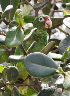 Critically Endangered Puerto Rican Amazon parrot (Cotorra puertorriqueña) [scientific name: Amazona vittata]