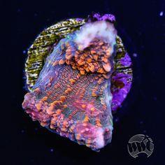 Reef Tanks, Fish Tanks, Chalice Coral, Acropora Coral, Aquarium Design, Colorful Animals, Saltwater Aquarium, Corals, Aquariums