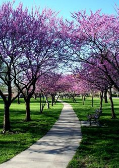 Love, love purple trees. They are just breathtaking! i want some in my backyard when i have a home :)