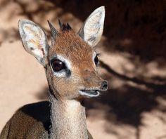 (+1) тема - Кения: дикдик – самая маленькая антилопа на свете   НАУКА И ЖИЗНЬ