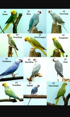 Indian Ringneck color mutations.