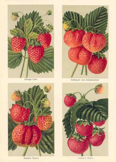 Strawberries from   German Fruit Growers Magazine