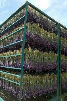 #LavenderFields