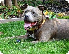 Lathrop, CA - Pit Bull Terrier Mix. Meet Quinn, a dog for adoption. http://www.adoptapet.com/pet/13815233-lathrop-california-pit-bull-terrier-mix