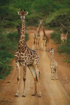 that tall standing giraffe . made me smile coz of its stare Animals And Pets, Baby Animals, Funny Animals, Cute Animals, Baby Elephants, Wild Animals, Giraffe Art, Cute Giraffe, Amazing Animals