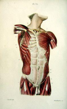 1852. Anatomy. Pl. 25. Dessin : J.-B. Léveillé (Annedouche). Système musculaire de l'abdomen et du thorax.