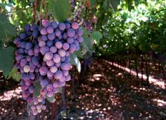 The first wine grapes were planted in Washington State Wine Country by the Hudson Bay Company in 1825. By 1910, French, German, and Italian immigrants had planted vineyards in every corner of the state.