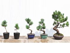 盆栽 Bonsai Tree Care, Indoor Bonsai Tree, Bonsai Pruning, Bonsai Plants, Garden Terrarium, Bonsai Garden, Bonsai Mame, Diy Plante, Plantas Bonsai