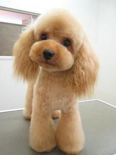 Ideas Dogs And Puppies Breeds Poodle Teddy Bears Cute Puppies, Cute Dogs, Dogs And Puppies, Poodle Puppies, Silly Dogs, Fun Dog, Maltese Dogs, Chihuahua Dogs, Dachshund Dog