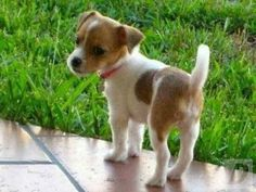 Image result for mini jack russell puppies