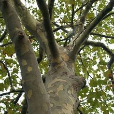 London Plane Tree Seeds (Platanus acerifolia) 50+Seeds
