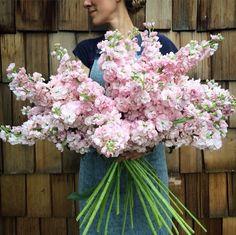 Stock Mass flower Red, pink, lavender, yellow, white Fragrant Vase life: 10 days