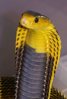 (Naja samarensis) Samar cobraThis is a highly venomous species of spitting cobra native to the Visayas and Mindanao island groups of the Philippines.