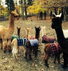 Keep the babies warm! @Brittany Snow @The Alpaca Daily http://astore.amazon.com/alpacashoppe-20