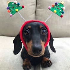 Adorable Dachshund Christmas Gifts and Decorations Dachshund Quotes, Dachshund Funny, Mini Dachshund, Dachshund Puppies, Weenie Dogs, Cute Puppies, Cute Dogs, Daschund, Christmas Animals