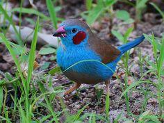 Cordon-blue Finch (Africa)