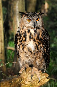 Ethel - with a nice pose in the late afternoon sunlight Owl Photos, Owl Pictures, Owl Bird, Pet Birds, Animals And Pets, Cute Animals, Owl Wallpaper, Great Horned Owl, Beautiful Owl