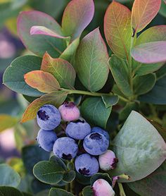 Berry Plants, Fruit Plants, Blueberry Plant, Strawberry Blueberry, Acid Loving Plants, Starting Seeds Indoors, Plant Labels, This Is Your Life, New Fruit