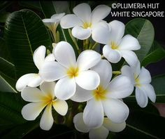 19 best my plumeria collection images on pinterest bloom canela singapore white large 35 white flowers slight yellow eye classic frangipani mightylinksfo