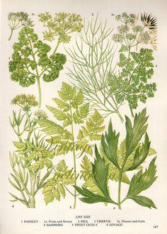 HERBS Vintage Botanical Print Antique, plant print 147 botanical print, bookplate art print, herb plants plant wall print