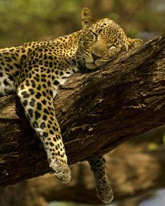 Jaguar sleeping.