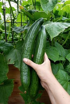 Caring for cucumbers - tips for a rich harvest - Plant Happy® - Caring for cucumbers – tips for a rich harvest – Plant Happy® Informations About Gurken pflegen - Herb Garden, Garden Plants, Boiled Egg Nutrition, Energy Snacks, Engagement Ring Cuts, Fresh Vegetables, Beets, Gardening Tips, Cucumber
