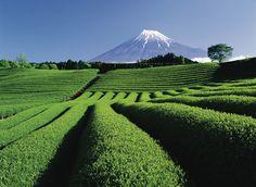 Tea plantation in Shizuoka, Japan.