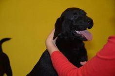 Labrador štěňata s PP