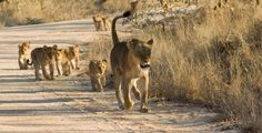 Want to see a bit of wildlife in action? Enjoy this photographic safari of our great Kruger Park images. Lion Pride, Kruger National Park, Fat Cats, Cute Little Animals, Animal Kingdom, Compassion, Kangaroo, Safari, Wildlife
