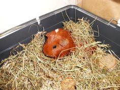 Our Guinea Pig Uma