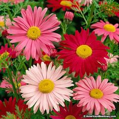 Red and Pink and White Painted Daisy Robinson's Giant, Pyrethrum or Tanacetum coccineum, Painted Daisy