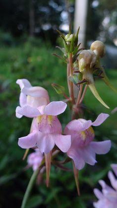 Linaria triornithophora rosea - Google Search