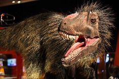 "A Yutryrannus huali model at ""Dinosaurs Among Us,"" a new exhibit at the American…"