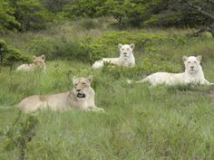 African Lions, Inkwenkwezi Private Game Reserve, East London, South Africa Photographic Print by Cindy Miller Hopkins at Art.com
